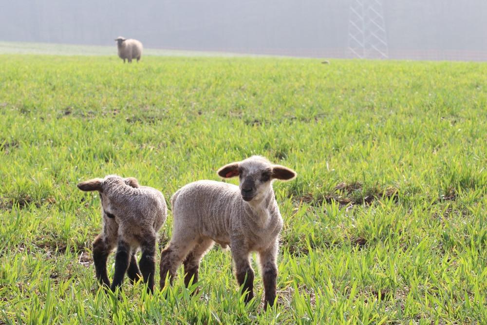 Schafe Halten Die Grundlagen Der Schafhaltung Selbstversorger De