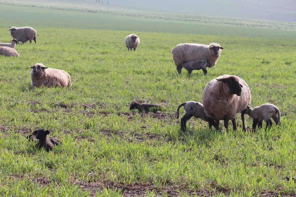 Schafhaltung
