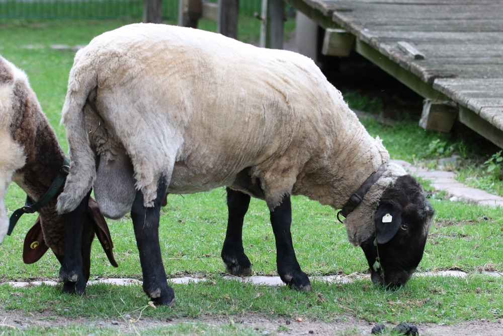 Geschorenes Schaf