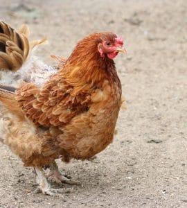 Huhn Hühnerkrankheiten