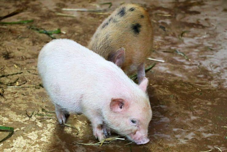 Schweinerassen - Ferkel