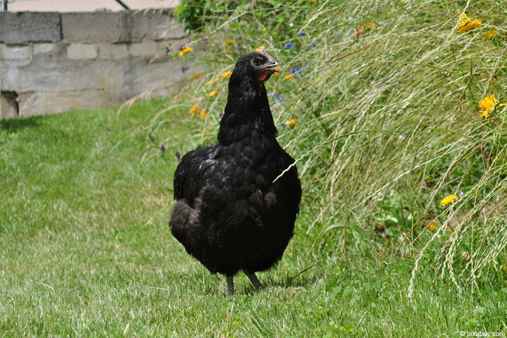 Jersey Giant Huhn