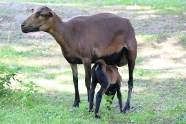 Schafrassen - Kamerun Schaf