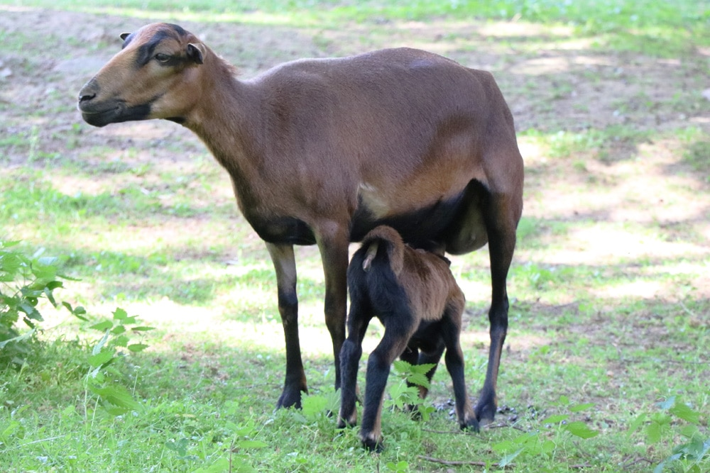 Kamerun Schaf