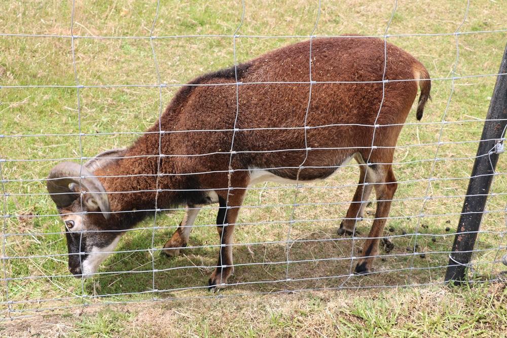 Schaf hinter Zaun