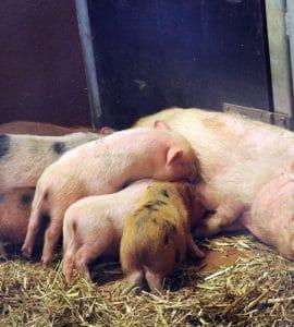Ferkel beim säugen - Schweinehaltung