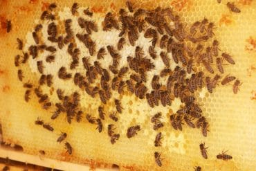 Bienennest - Bienenwaben