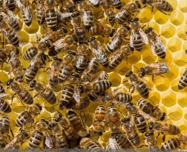Bienenarten -Honigbiene - Apis mellifera