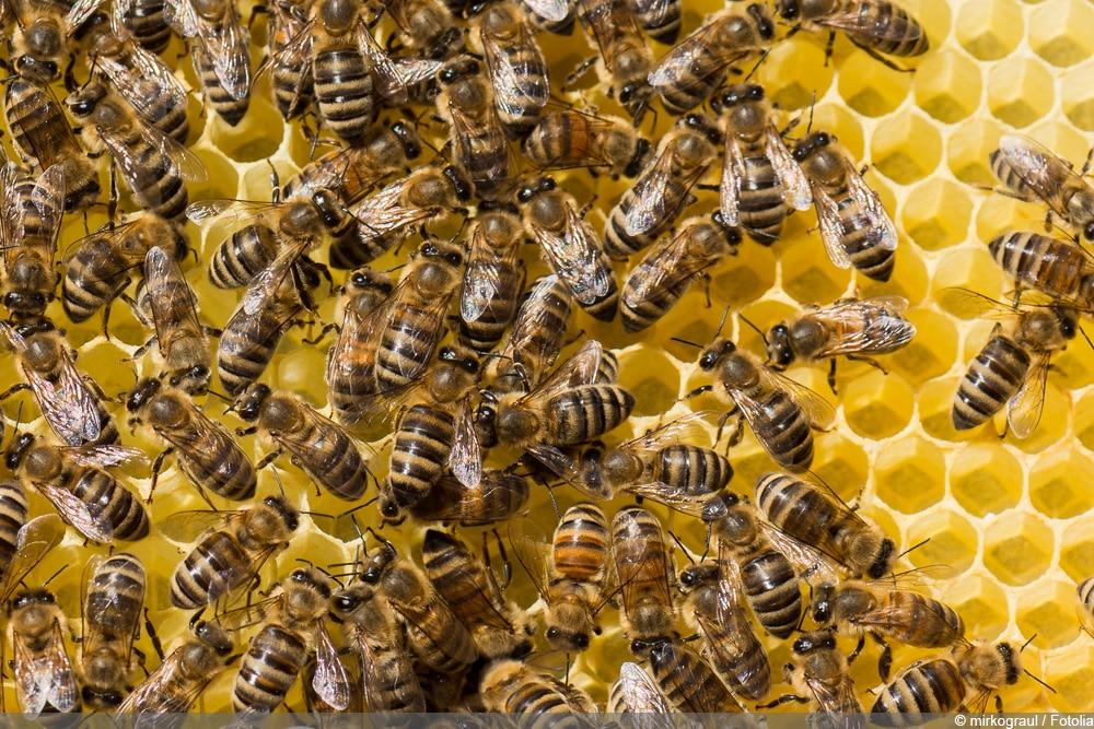 Honigbienenarten