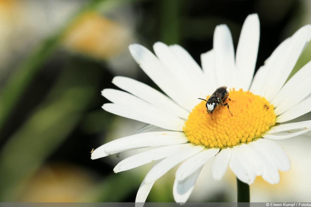 Mastenbiene - Hylaeus
