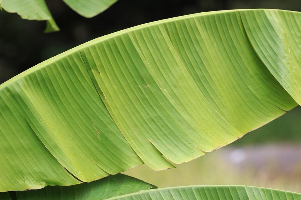 Bananenpflanze - Musa basjoo