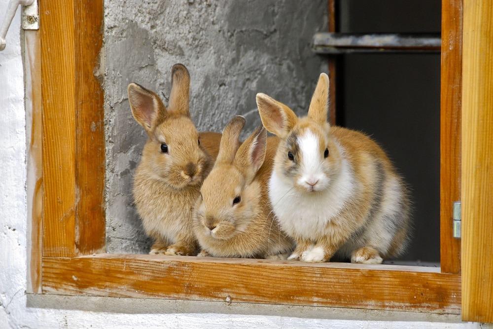 rote neuseeländer kaninchen