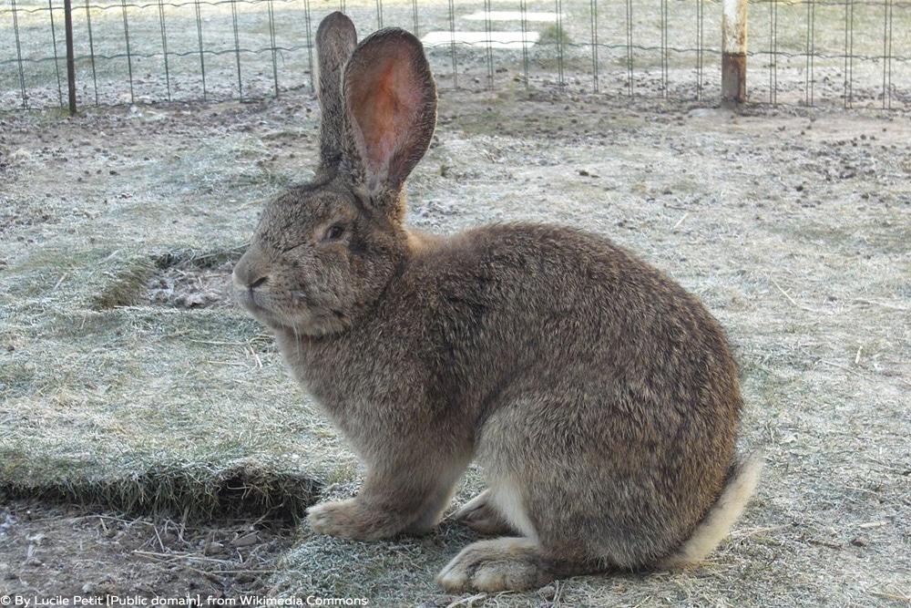 Kaninchenrassen - Deutsche Riese
