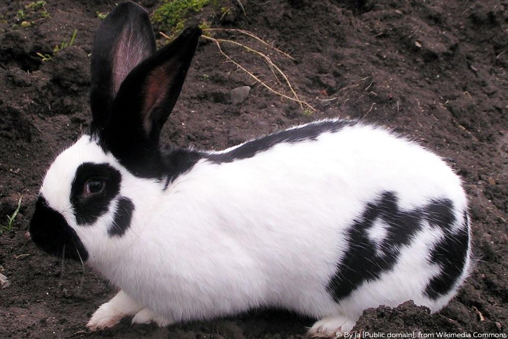 Kaninchenrasse - Deutscher Riesenschecke