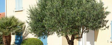 Oliven ernten - Olivenbaum