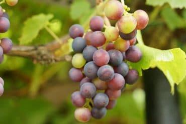 Weintrauben verarbeiten