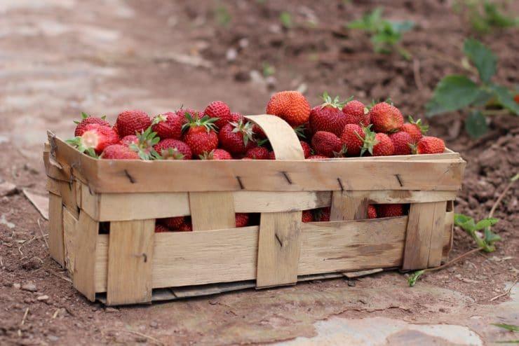 Lieblings Erdbeersorten: welche Erdbeeren sind die besten? | 8 alte Sorten #HY_49