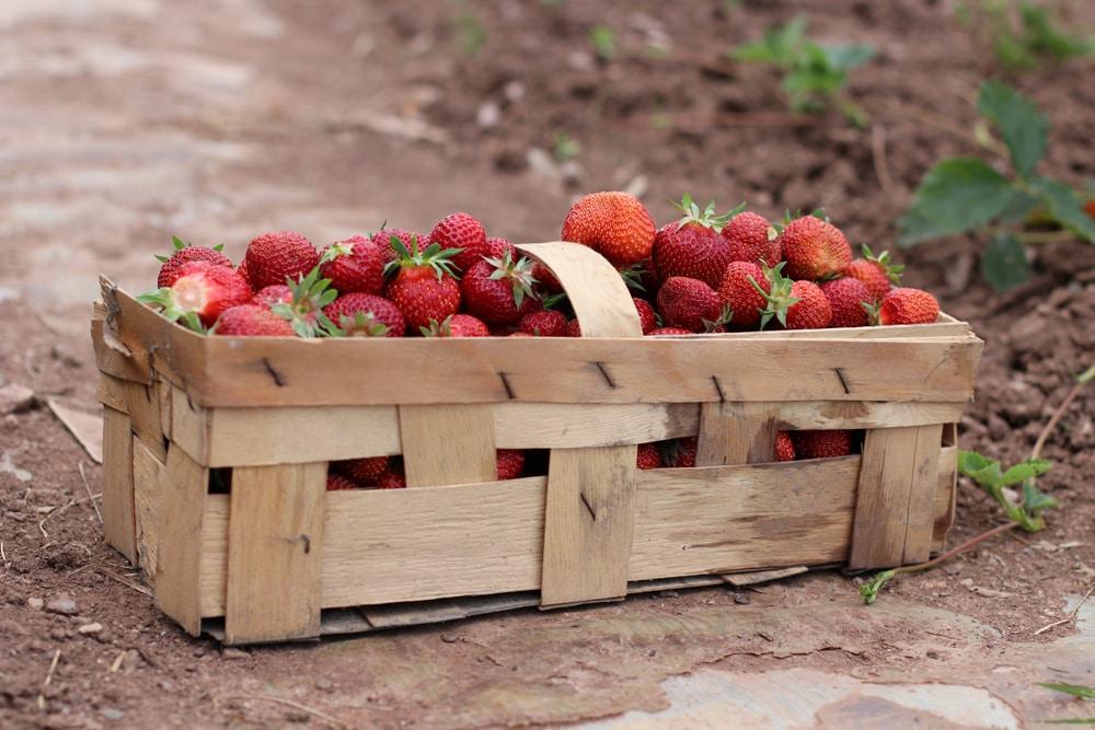 Erdbeersorten