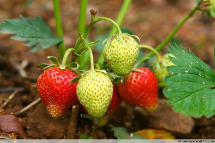 Gemeinsame Schädlinge an Erdbeeren: Würmer, Käfer & Co natürlich bekämpfen &AU_32