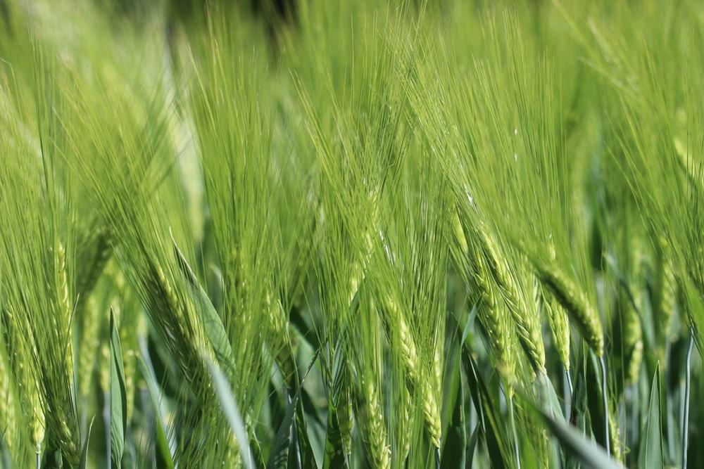 Getreidearten - Gerste
