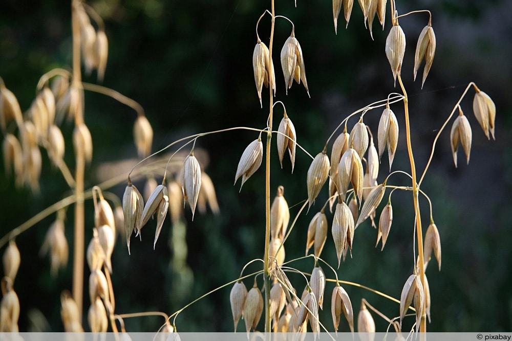 Getreidearten - Hafer