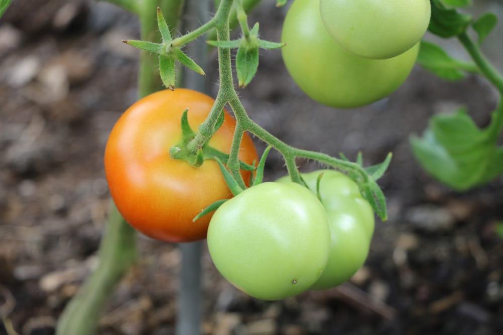 gr ne tomaten nachreifen lassen so werden sie schnell rot