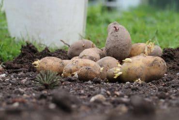 gekeimte Kartoffeln