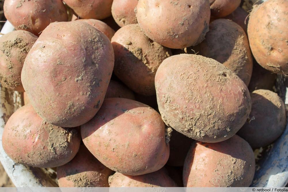 Kartoffelsorten Bellarosa