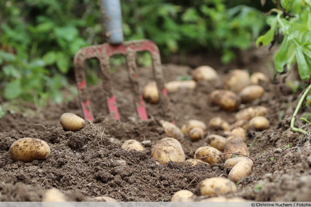 Kartoffelsorten Glorietta