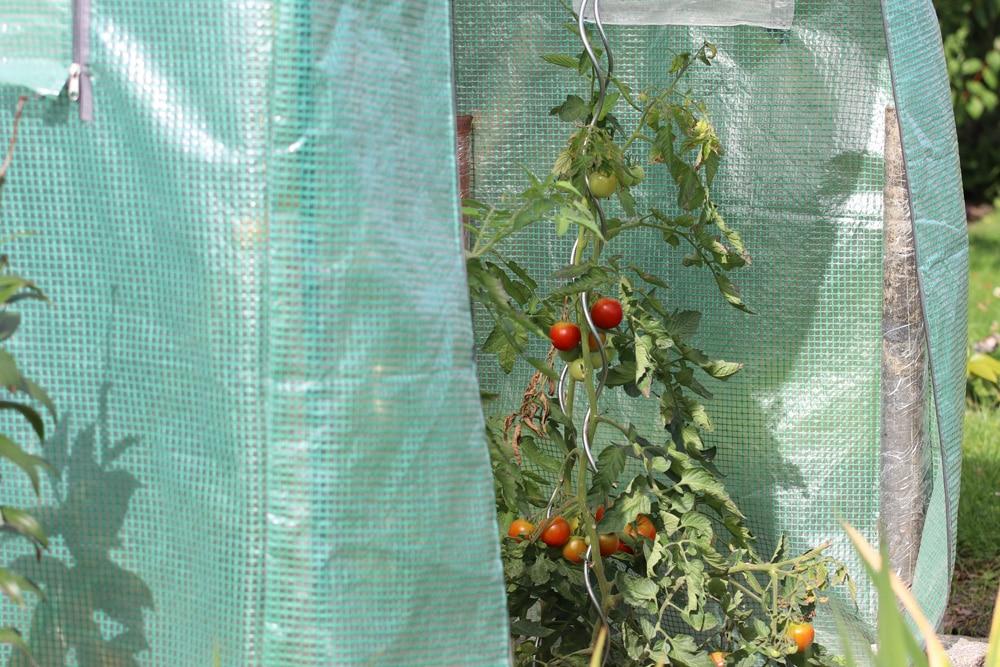 Pflanzzeit für Tomaten Folientunnel