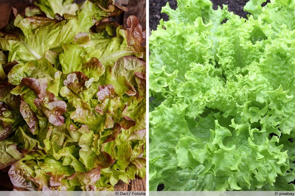 Eichblattsalat und Endiviensalat