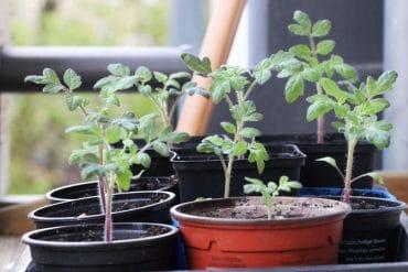 Tomaten säen Jungpflanzen - Tomatenanbau