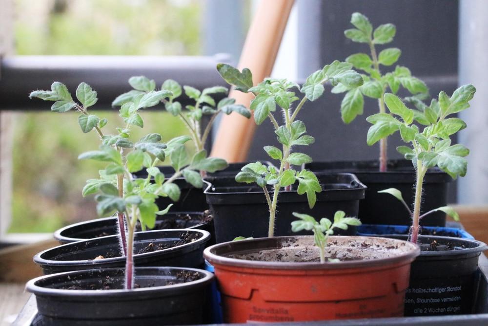 Tomaten säen Jungpflanzen