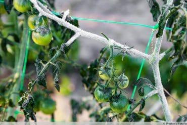 Tomaten überwintern