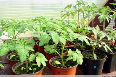 Tomaten auspflanzen