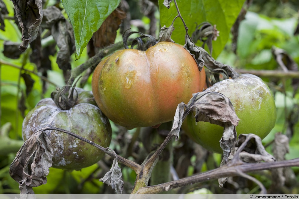 Fruchtfäule