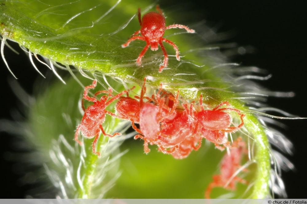Spinnmilben