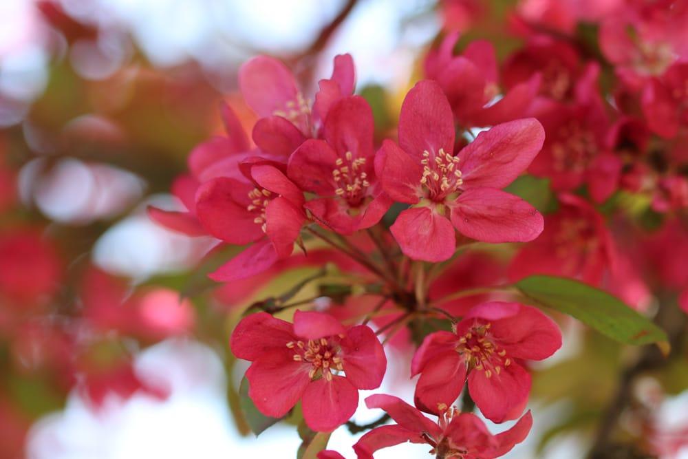 Blutapfel alte Apfelsorten