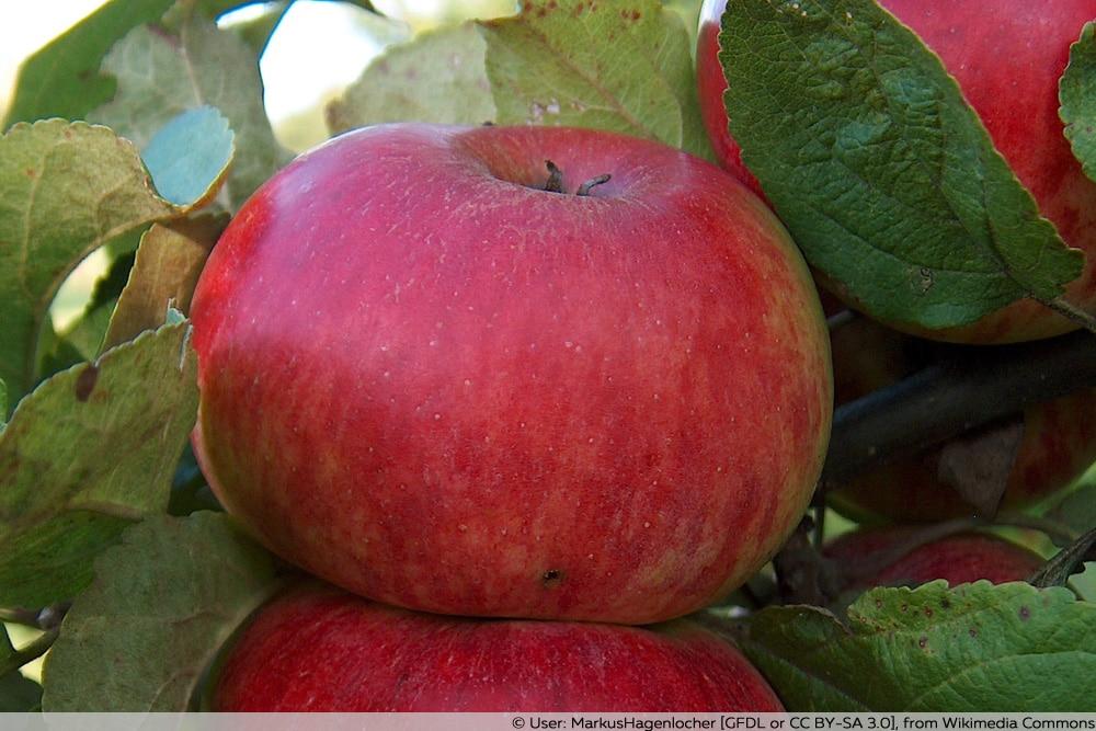 alte Apfelsorte