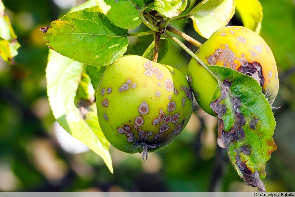 Apfelschorf Apfelbaum-Krankheiten