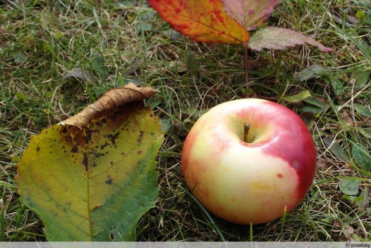 Apfelbaum-Blätter rollen sich