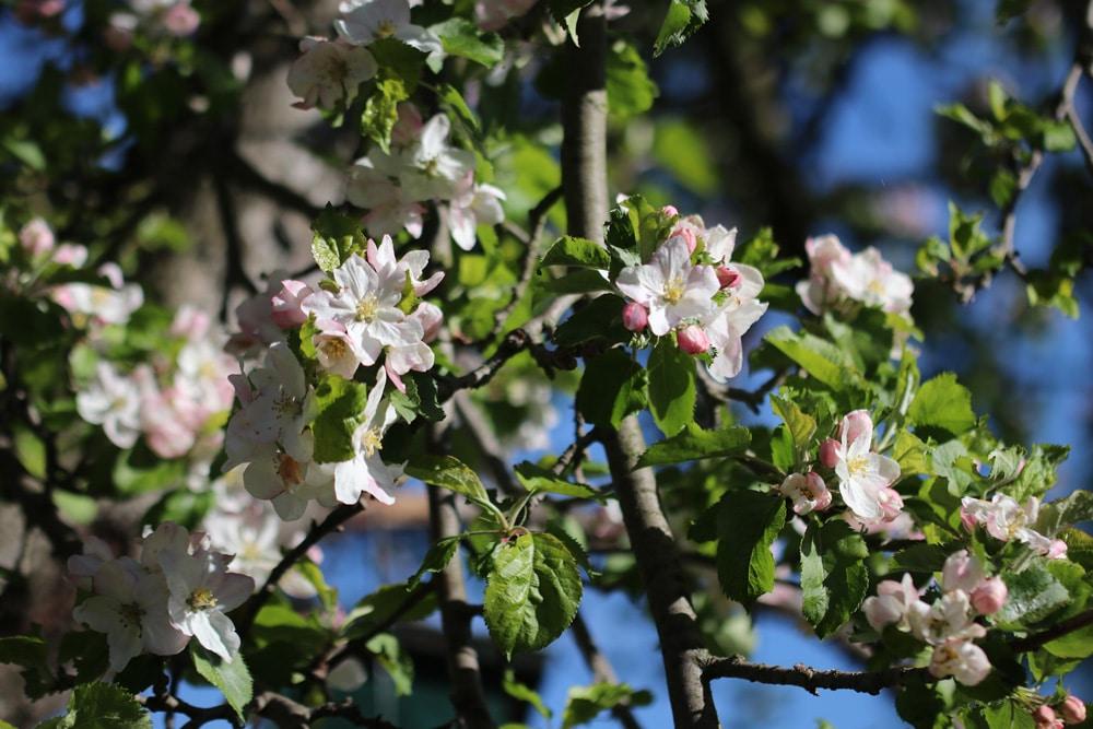 Apfelsorte Apfelblüten
