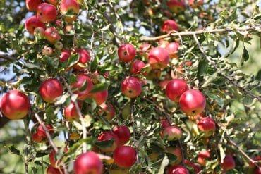 Obstbaumkrankheiten