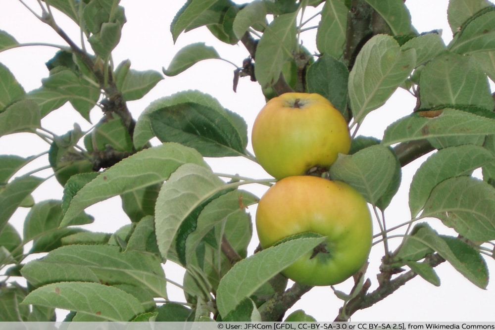 Zitronenapfel
