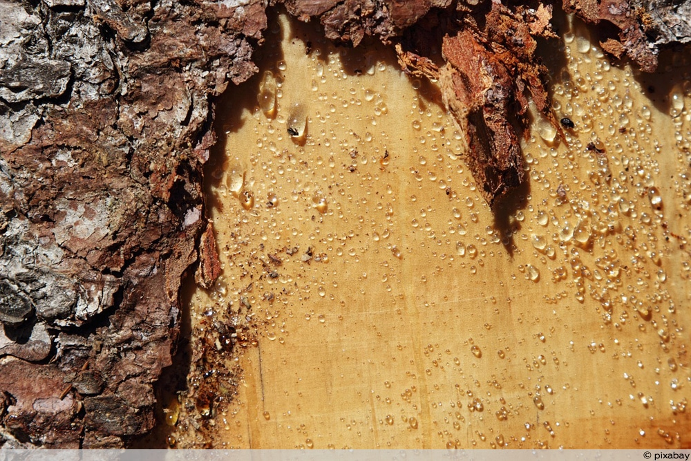 Baumschnitt Wundverschluss beschädigte Rinde