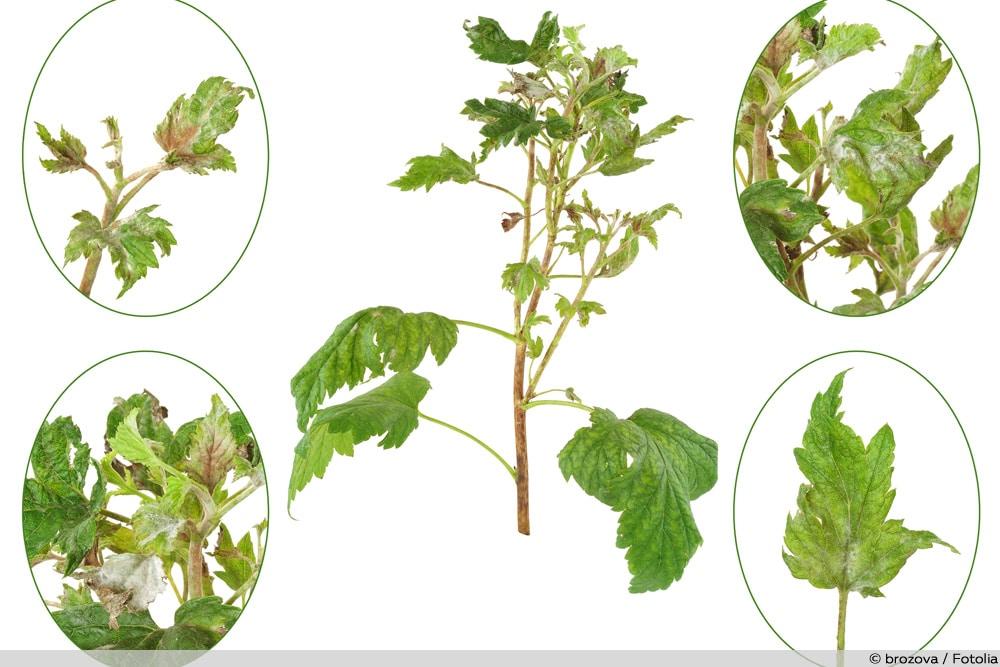 Himbeer-Krankheiten Botrytis-Fruchtfäule