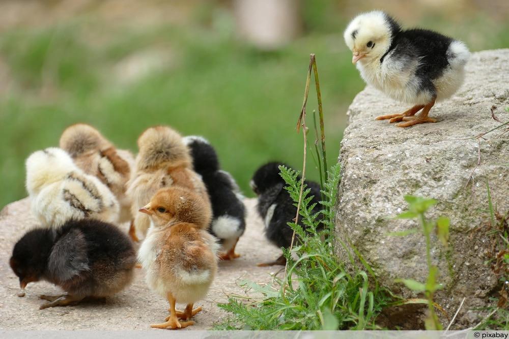 Zwerghühner Zucht