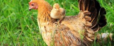 Zwerghühner halten