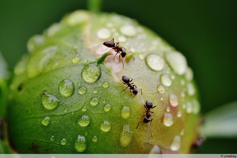 Gemeinsame Ameisen im Hochbeet: was tun? So vermeiden Sie eine Plage #CO_85