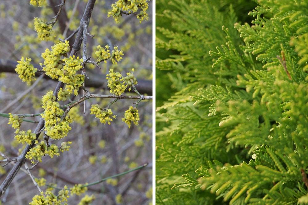 Kornelkirsche und Lebensbaum